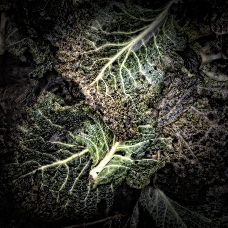 Листья савойя гнить стоковое изображение rf