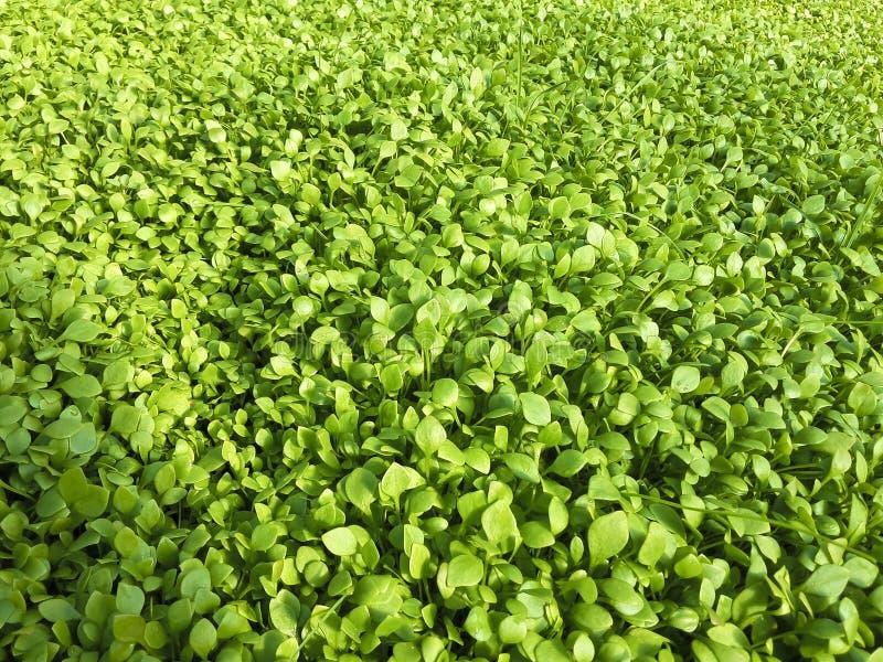 Листья салата покрывают травяные садовничая молодые заводы стоковые изображения rf