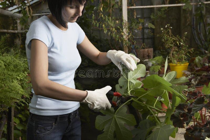 Листья садовника подрезая в парнике стоковое фото