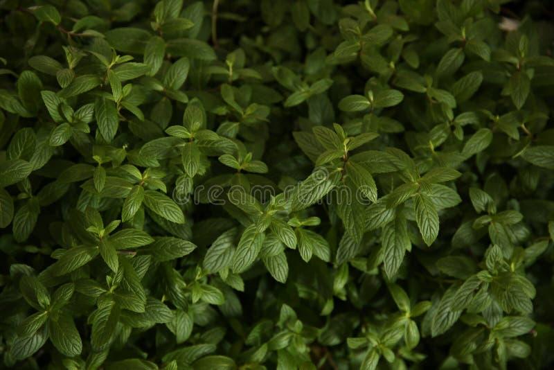 Листья свежей зеленой мяты органические в кусте стоковое изображение