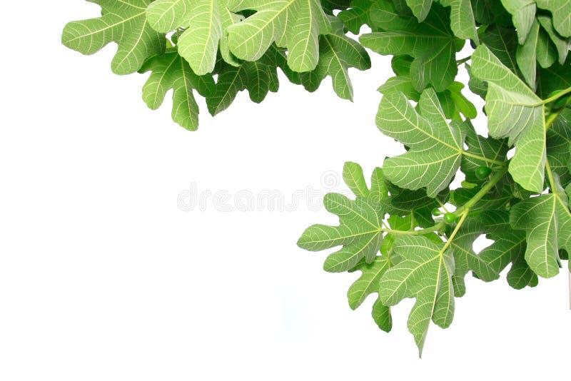 листья смоквы стоковое фото rf
