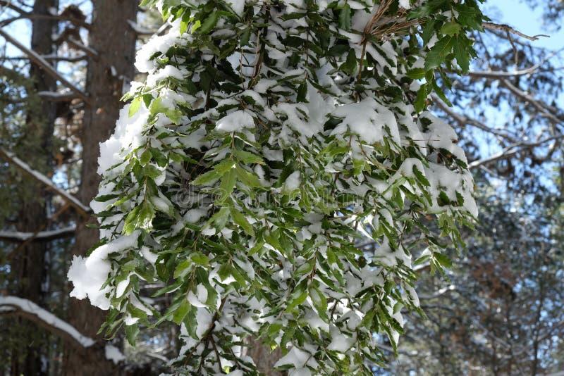 Листья снега дуба holm предусматриванного в парке Этна стоковая фотография rf