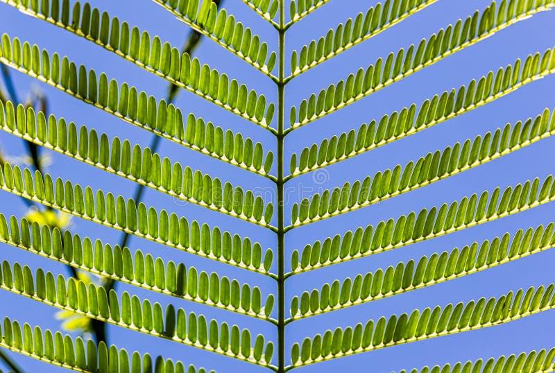 Листья с симметричным расположением на ветви с голубым небом на заднем плане стоковая фотография rf