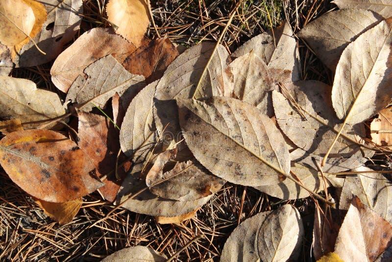 Листья тополей осени стоковые изображения rf