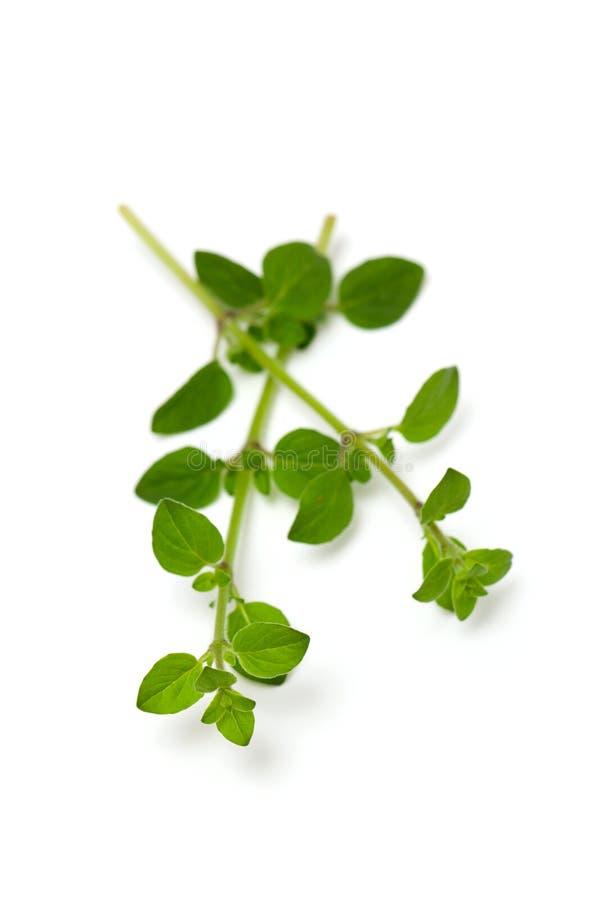 Листья травы майорана на изолированной предпосылке стоковые изображения rf