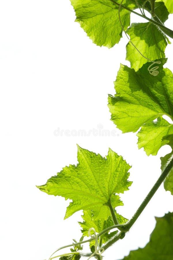 Листья тыквы губки на белой предпосылке стоковые изображения rf