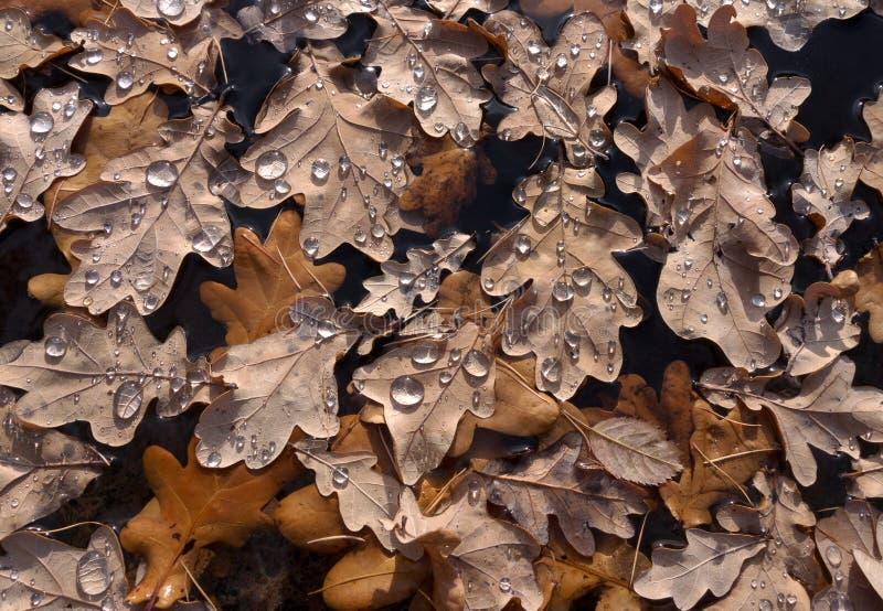 Листья дуба Брайна с падениями воды стоковая фотография
