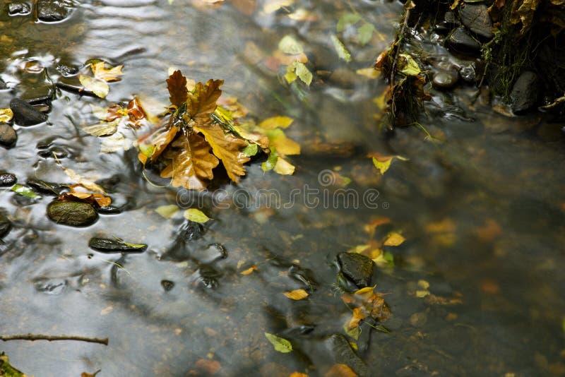Листья дуба в реке стоковые фотографии rf