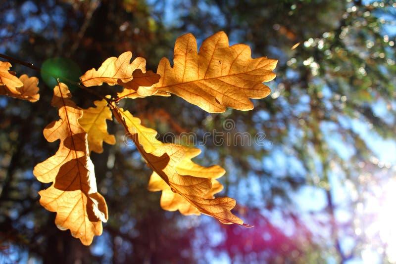 Листья дуба осени стоковая фотография