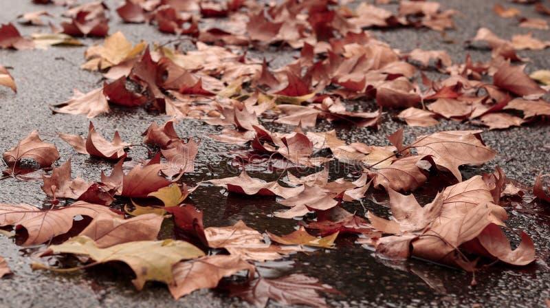 Листья упаденного клена осени красные и оранжевые в лужице на тротуаре стоковые изображения