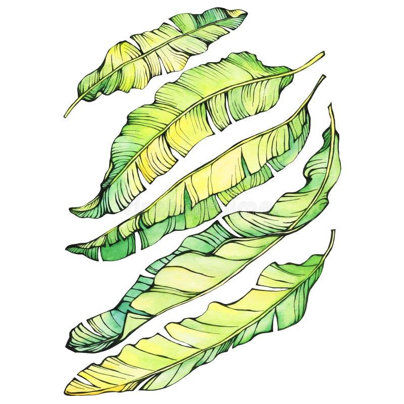 Листья установленного экзотического тропического банана зеленые и желтые иллюстрация вектора