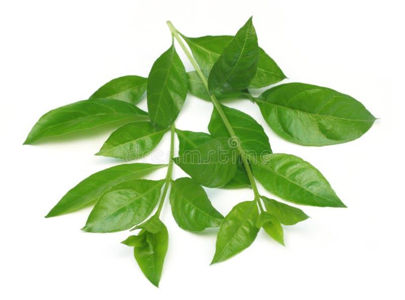 листья хны стоковые изображения rf