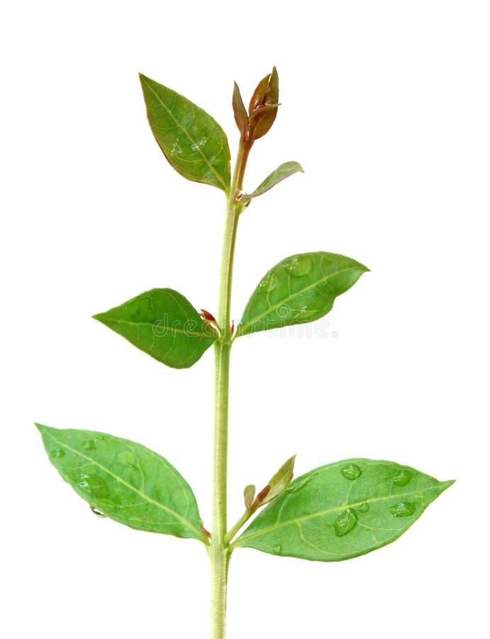 листья хны стоковая фотография
