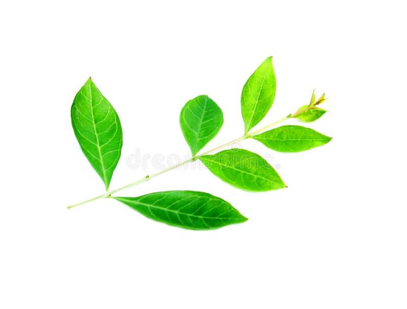 Листья хны стоковое изображение rf