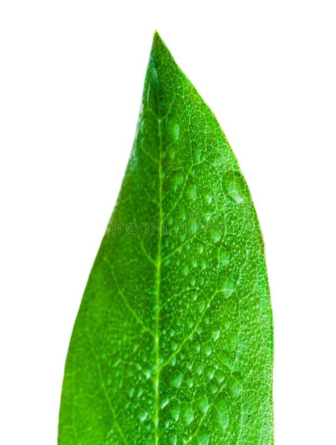 Листья цитруса с падениями Зеленые лист изолированные над белым backgr стоковые фото