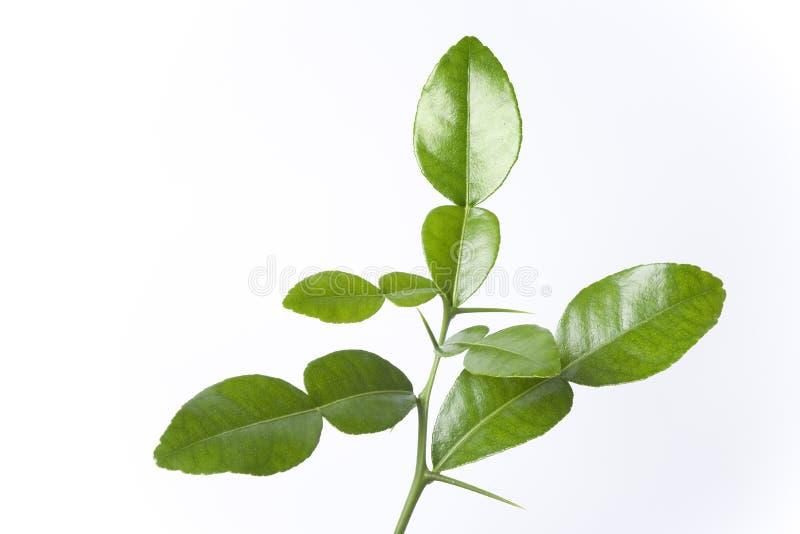 листья цитруса bystrix стоковое изображение rf