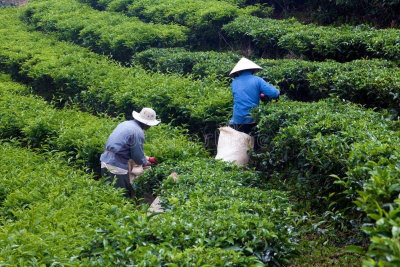 Листья чая выбора работника на плантации чая. LAT DA,  стоковое фото rf