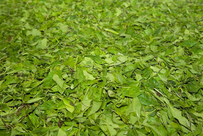 Листья чая на поле - процесс производства чая стоковое изображение rf