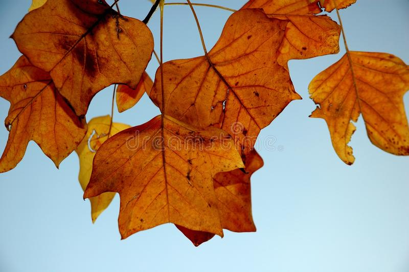 Листья шелковицы в осени стоковые изображения