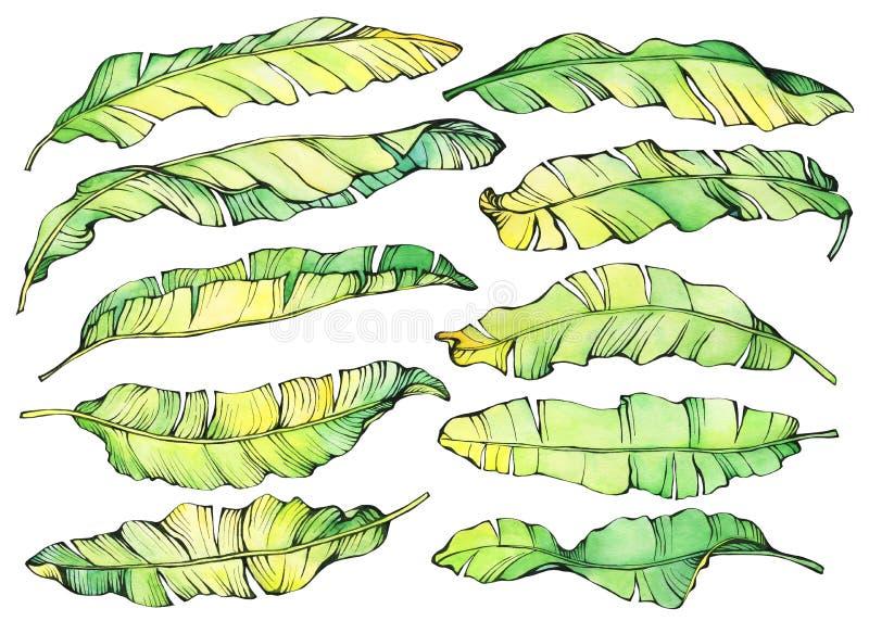 Листья экзотического тропического банана большого комплекта зеленые и желтые иллюстрация штока
