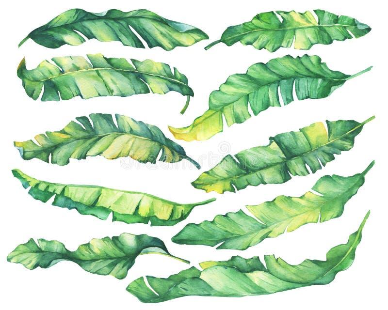 Листья экзотического тропического банана большого комплекта зеленые и желтые иллюстрация вектора