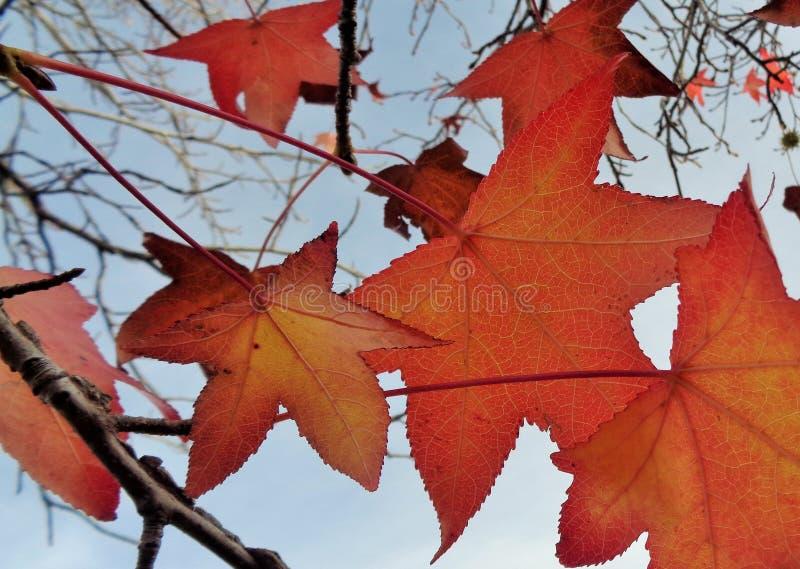 Листья acer красного клена против неба вечера осени стоковая фотография
