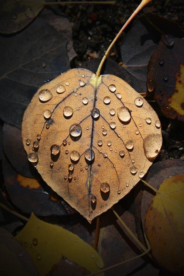 Листья Aspen с падениями воды стоковое изображение rf