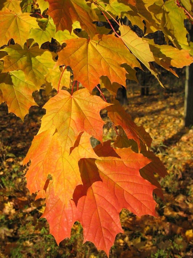 листья autum красивейшие стоковое изображение