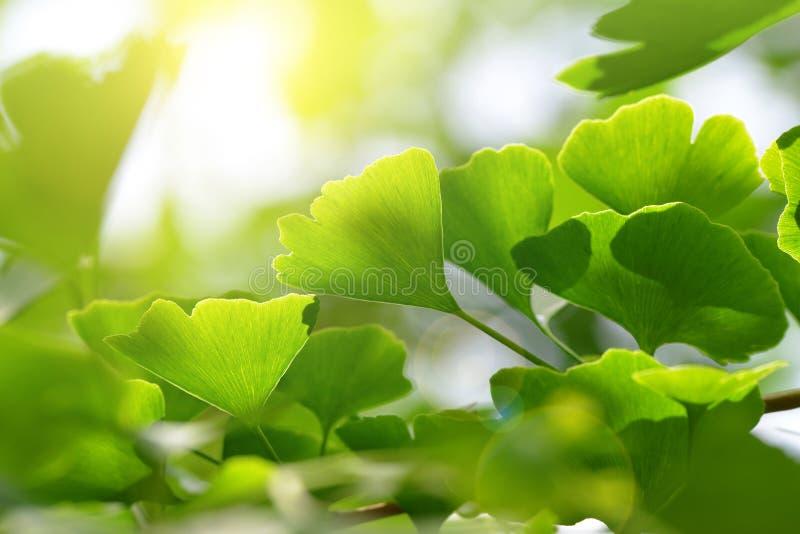 Листья biloba ginkgo стоковое изображение rf