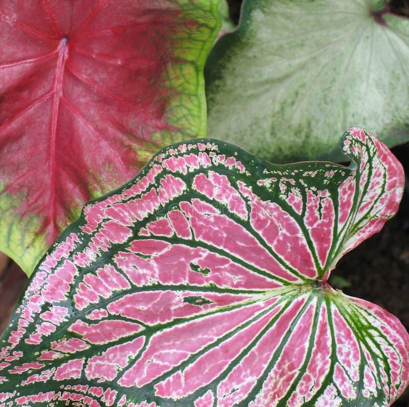 листья caladium стоковые изображения rf