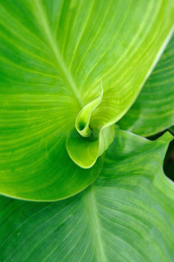 листья cannaceae стоковые изображения