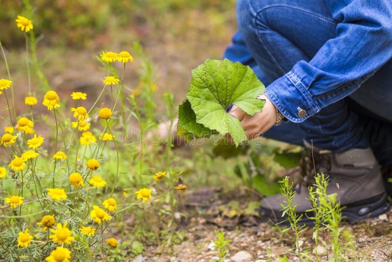 Листья clotsfoot рудоразборки женщины для сушить стоковое фото rf
