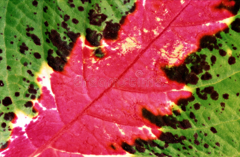 листья Coleus крупного плана Стоковые Изображения RF