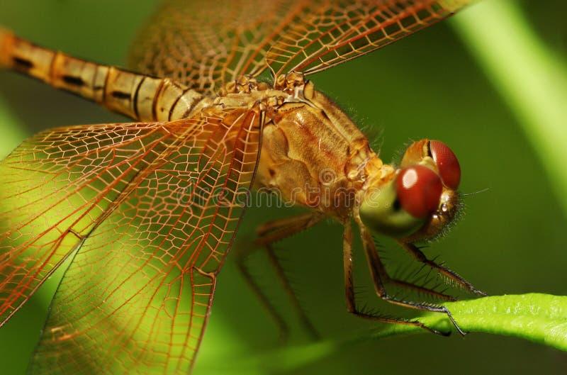 листья dragonfly стоковые фото