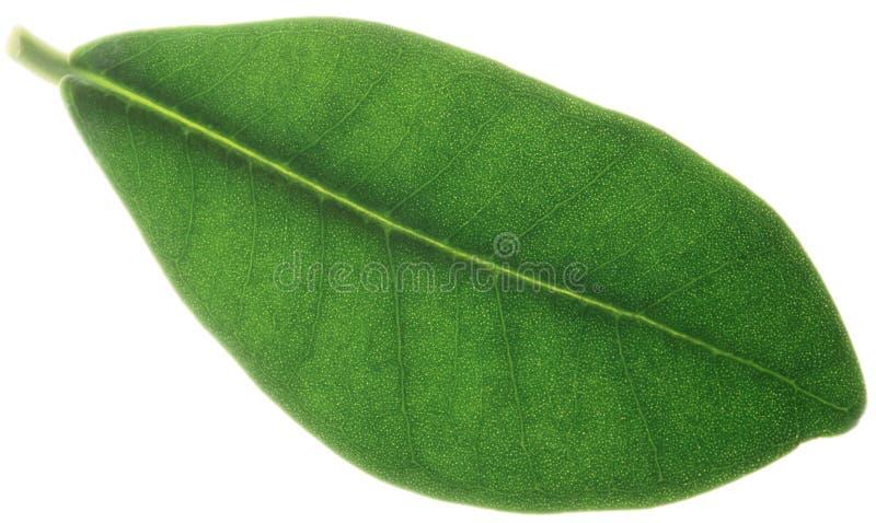листья ficus стоковые фото
