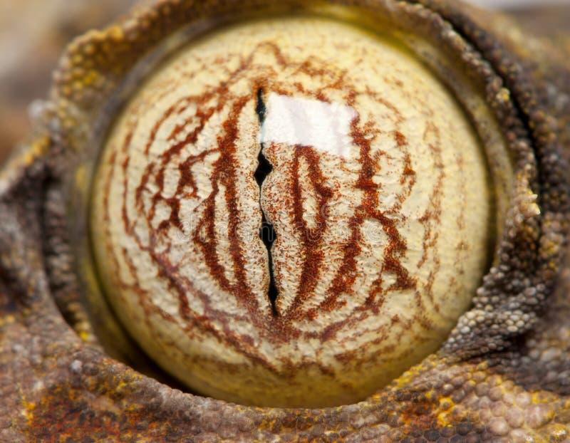 листья gecko fimbriatus глаза замкнули uroplatus стоковое фото rf
