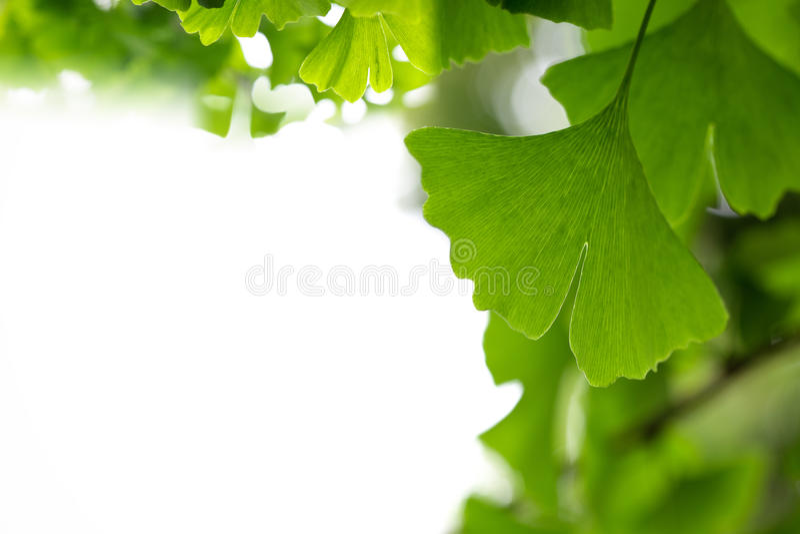 листья ginkgo предпосылки стоковая фотография rf