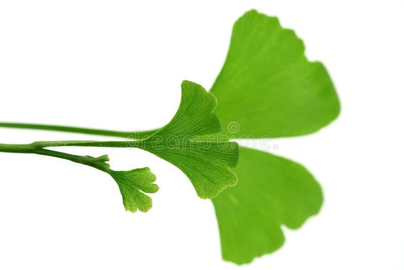 листья ginko стоковая фотография