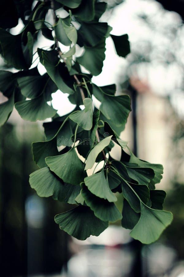 Листья GInko BIloba стоковое изображение rf