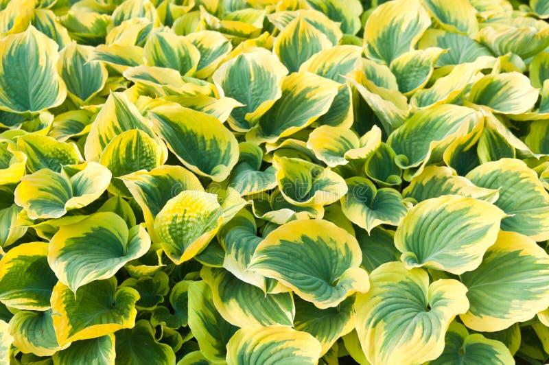 листья hosta стоковое фото