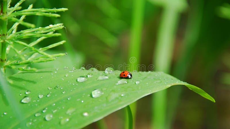 листья ladybird росы стоковые изображения