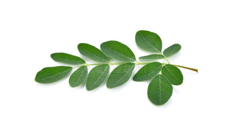 Листья Moringa над белой предпосылкой стоковые фотографии rf