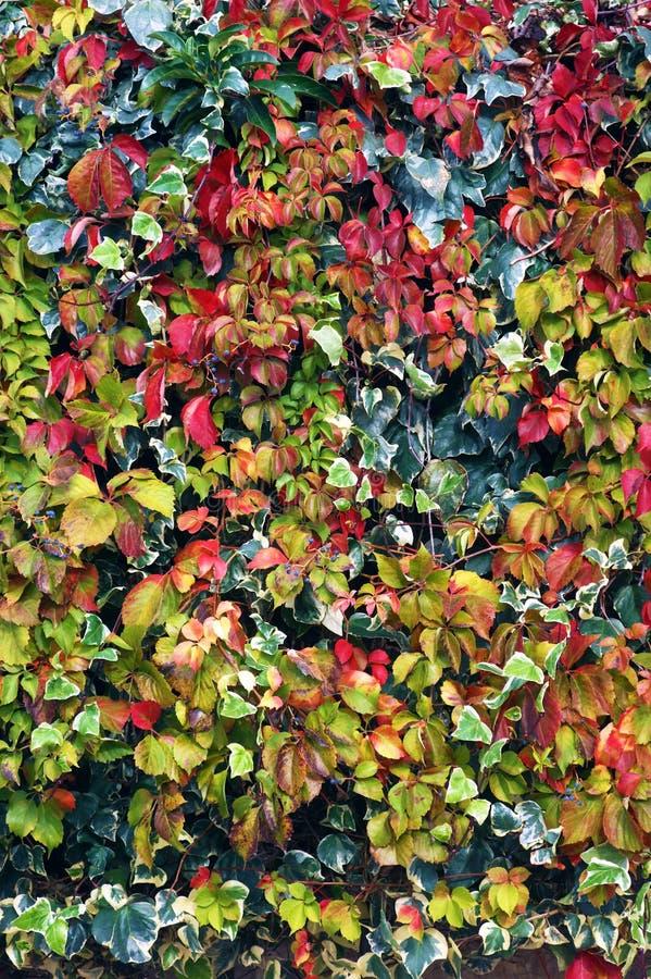 Листья Motley взбираясь заводов в осени стоковые фото