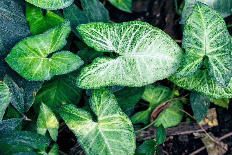 Листья Nephthytis красивые (cv 'белая бабочка' podophyllum Syngonium) часто, который растут как заводы дома стоковые изображения rf
