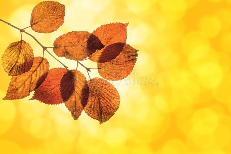 Листья Shrub Viburnum на запачканной предпосылке стоковая фотография rf