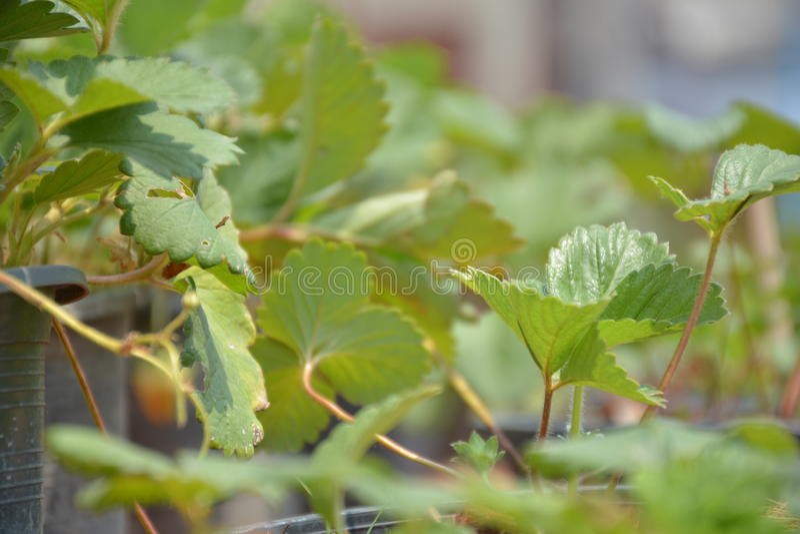 Листья Strawbery в баке стоковые фотографии rf