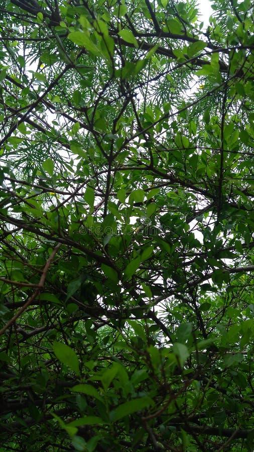 Листья Sudarshan стоковая фотография rf