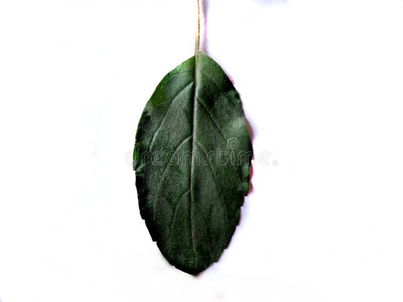 Листья Tulsi стоковые изображения rf