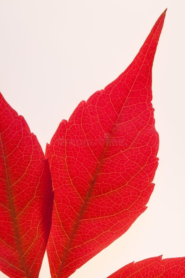 листья virginia creeper стоковое фото