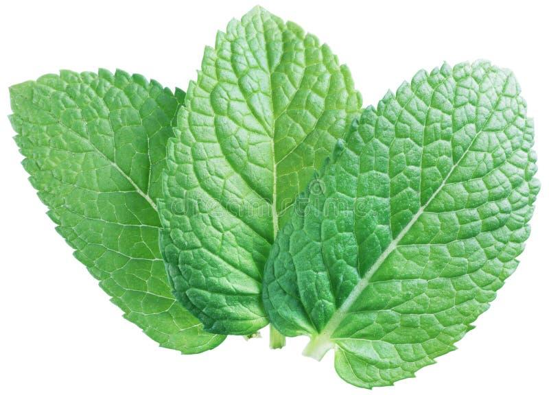3 листь spearmint или листья мяты изолированные на белом backgrou стоковое фото